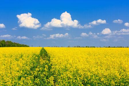 Nice yellow rape field in sunny day photo