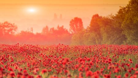 red poppy field in morning mist photo
