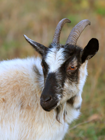billy: Portrait rural billy goat
