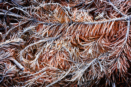 frozen needles - abstract natural background photo
