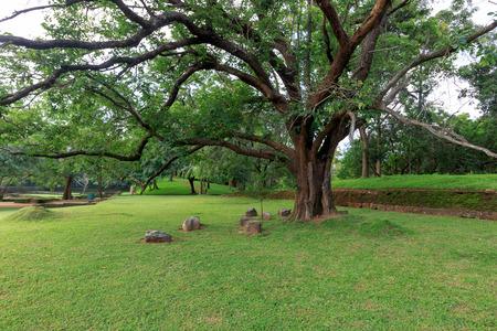 Big ficus tree in Sigirya Garden Stock Photo