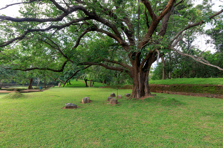Big Ficusbaum in Sigirya Garden Standard-Bild - 36909478