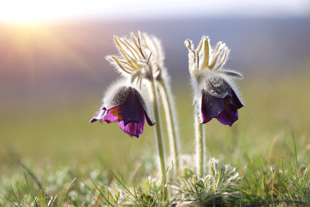 two pasque flowers on meadow photo