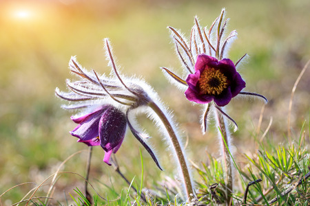 two pasque flowers in spring time on meadow, soft focus photo photo
