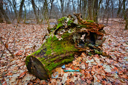 old wooden stump in autumn forest photo