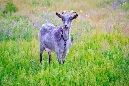tether: goat on green meadow in summer time
