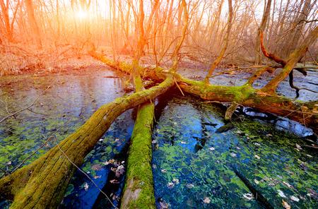 old tree on bog against sunset background