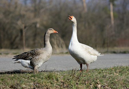 greylag: pair of gooses on rural farm at nice spring day