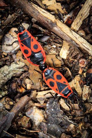 imago: two Pyrrhocoris apterus bugs in forest Stock Photo