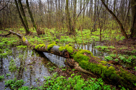 Mash in deep forest at spring time photo