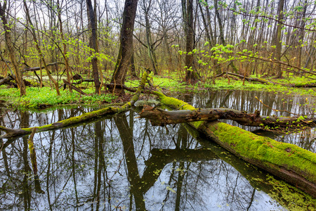 undergrowth: Old tree on bog in deep forest at spring time