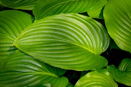 leafs: Green leafs - abstract natural background