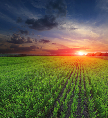 Sunset over young green sprouts on crop field photo