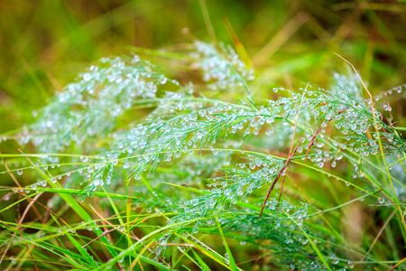 natureal: Green grass with water drops - abstract natureal background