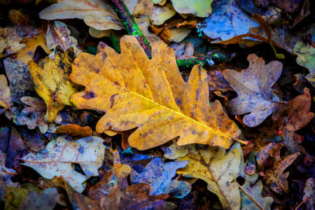 leafage: Dry autumn oak leafage - abstract natural background Stock Photo