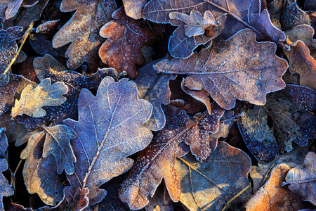 leafage: nice oaks frozen leafage closeup photo
