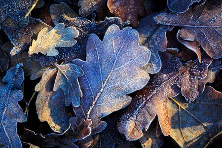 leafage: nice oaks leafage closeup photo