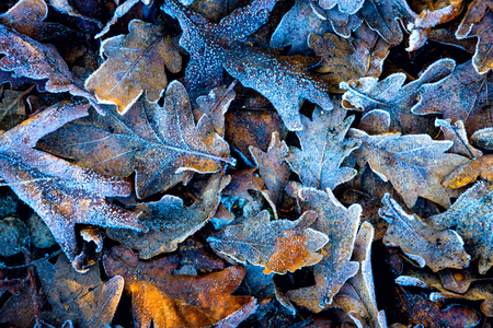 leafage: frozen autumn oak leafage - abstract natural background Stock Photo