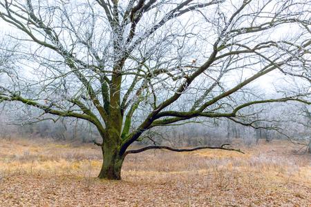 big frozen oak tree on autumn meadow