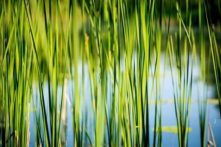 reed stem: green reed abstract natural background