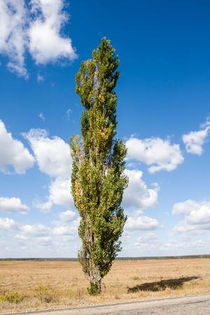 arbol alamo: �lamo solo en prado del oto�o