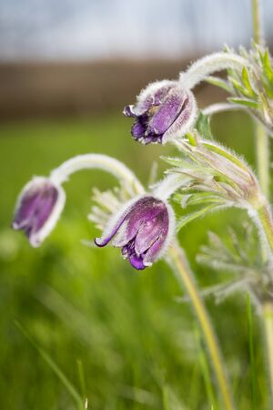 pasque: Nice pasque flowers at spring time Stock Photo