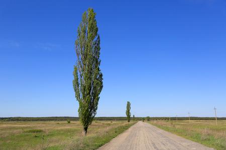 arbol alamo: chopo cerca del camino del campo