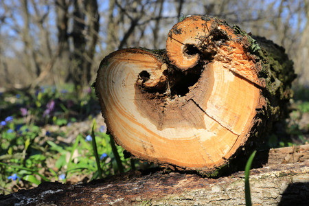 cut off: wooden log in spring forest with heart-shaped cut off
