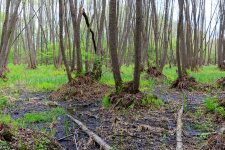 bog: woodland on spring bog in forest