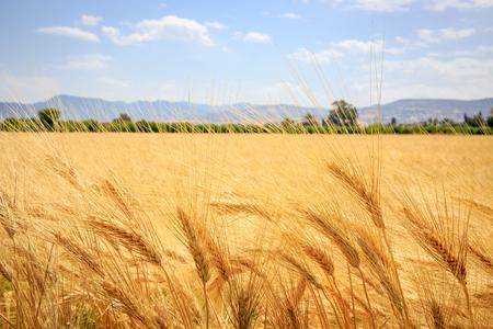 blue summer sky: ear of wheat meadow in summer time