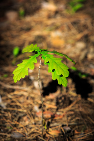 young tree: little oak sprout in forest