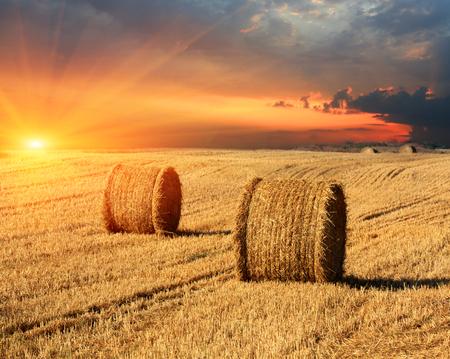 hayroll: evening sunset scene with hay rolls on farming field
