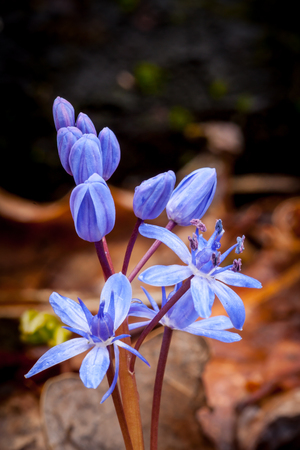 Nice scilla bifolia spring flowers
