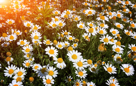 german chamomile: wild camomile flowers on summer meadow