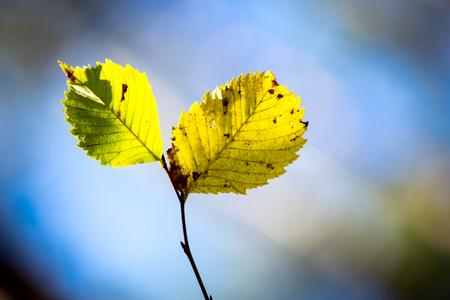 aspen tree: aspen tree twig on blue sky background - soft focus photo