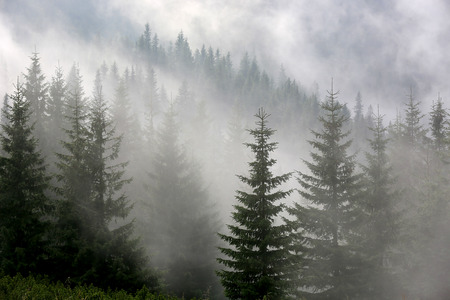 pine forest in morniung mist Standard-Bild