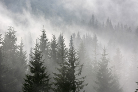 fog forest: scene with pine forest in morning fog