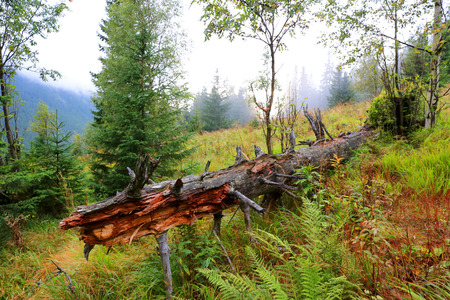 old woods on mountain meadow Stock Photo
