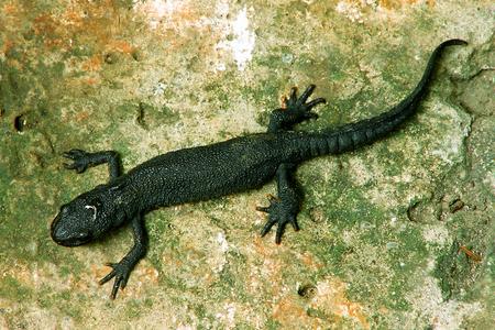 salamandra: salamander on old stone surface