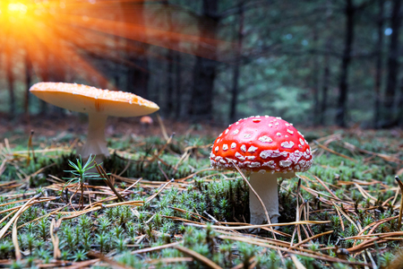 muscaria: scene with nice fly agaric mushrooms in forest