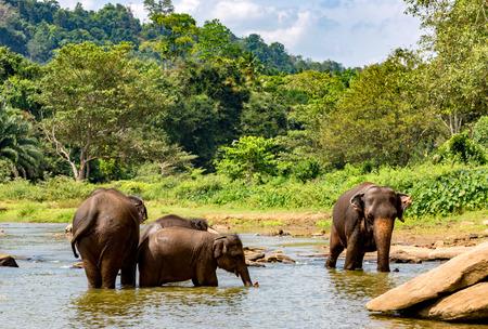 srilanka: Group of elephants in river on SriLanka
