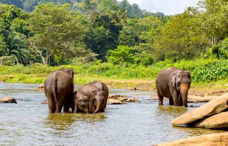 funny elefants in jungle river