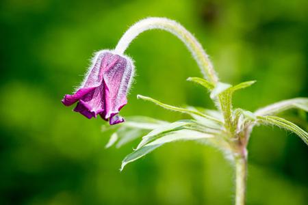nice wild pasque flower macro photo