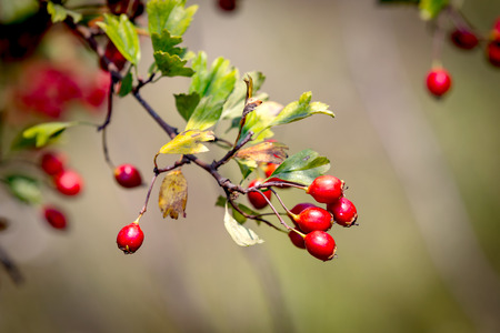 red berryes on hawthorn twig