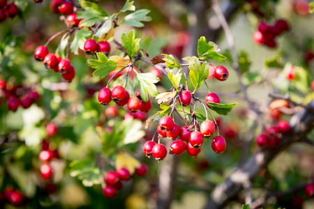 red berryes of hawthron tree Stock Photo