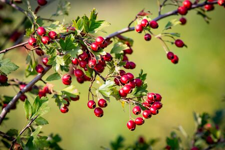 asbtract hawthorn tree brunch with red berryes