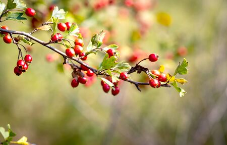 nice abstract hawtrohn twig with red berryes