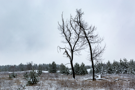 sky brunch: old trees on meadow in winter pine forest