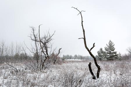 sky brunch: Old dead tree on winter meadow in forest