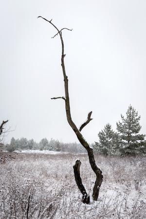 sky brunch: old dry dead tree in winter forest